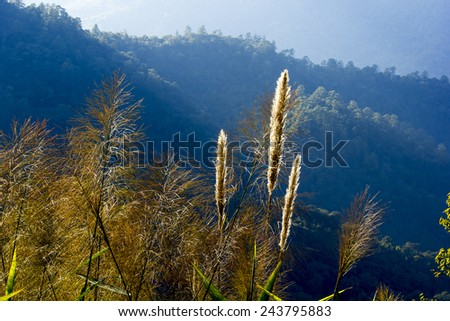 Reed in gold color at sunset.Background are blue mountain. - stock photo