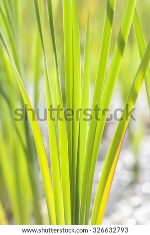 Reed leaves - stock photo