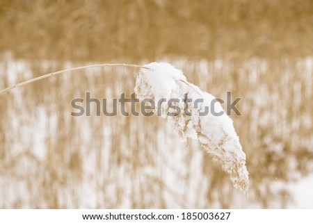 reed plant in a field during winter - stock photo