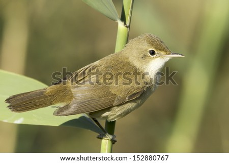 reed warbler  close-up  / Acrocephalus scirpaceus  - stock photo