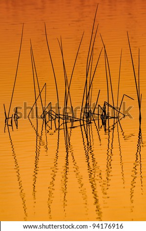 Reeds at dawn at the Ritch Grissom Memorial Wetlands (often referred to as the Viera Wetlands) in Melbourne, Florida - stock photo