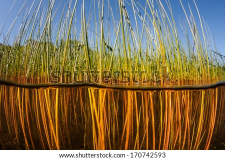 Reeds grow along the edge of a shallow freshwater lake in New England. The aquatic vegetation grows riotous during the summer months and then dies off in the fall.  - stock photo