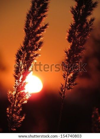 Reeds in sunset light - stock photo