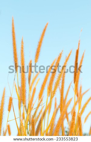 reeds of grass isolated on white background  - stock photo