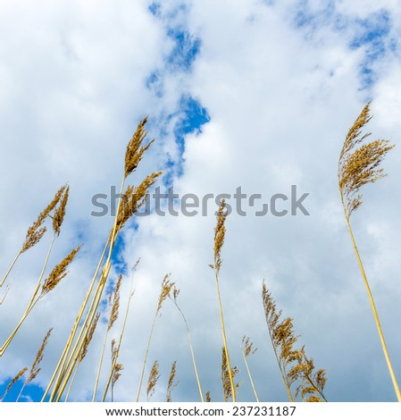 reeds of grass with cloudy blue sky - stock photo