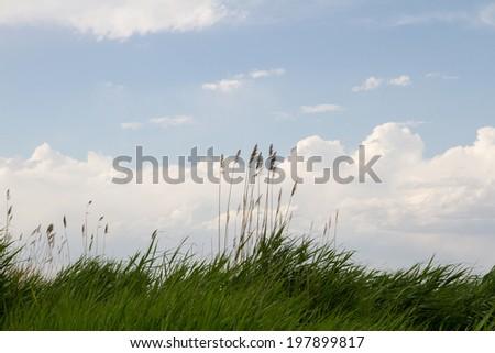 reeds on the lake - stock photo