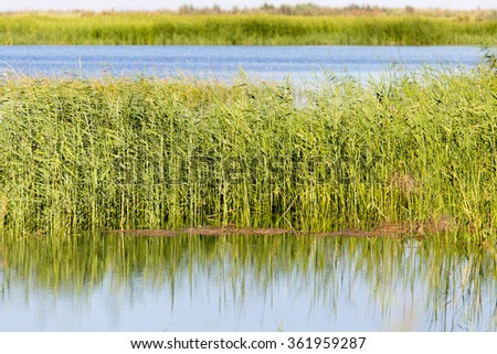reeds on the water in the lake in nature - stock photo