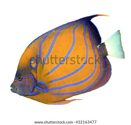 Reef fish cut out isolated on white background: Blue-ringed Angelfish - stock photo