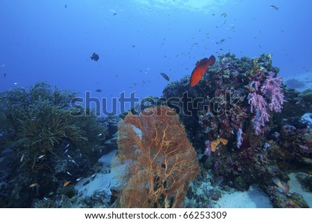 Reef in the Andaman Sea, Similan Islands, Thailand with beautiful hard and soft corals and a coral rock cod hovering above it. Family Cephalopholis miniata. - stock photo