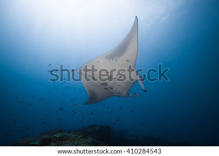 Reef manta ray, Manta birostris, on a cleaning station  - stock photo