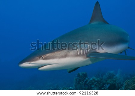 Reef Shark (Carcharhinus perezii) hunting over a tropical coral reef off the island of Roatan, Honduras. - stock photo
