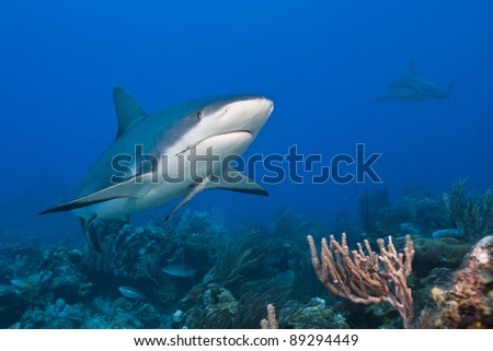 Reef Shark (Carcharhinus perezii) with a fish hook in it's mouth and an attached Whitefin Sharksucker (Echeneis neucratoides) hunting over a tropical coral reef off the island of Roatan, Honduras. - stock photo