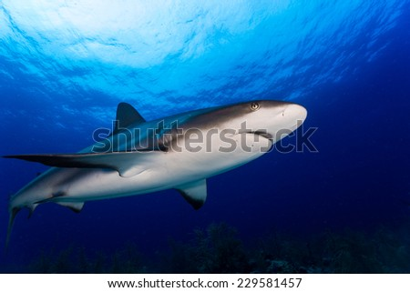 Reef Shark swimming over with blue water background - stock photo