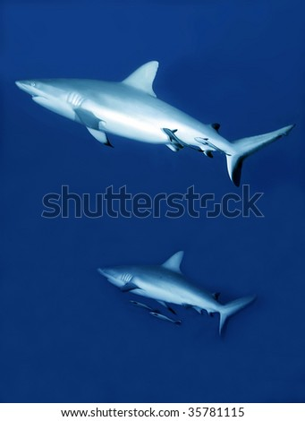 reef sharks with cleaner fish - stock photo