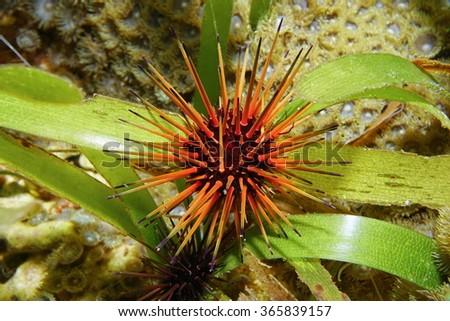Reef urchin, Echinometra viridis, underwater on seagrass, Caribbean sea - stock photo