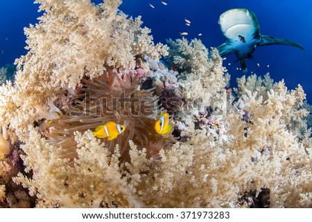 Reef with shark and anemone fish, Red Sea, Egypt - stock photo