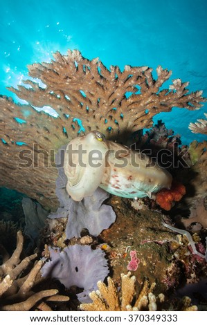 Reefscape looking up and a giant cuttlefish hiding under a table coral - stock photo