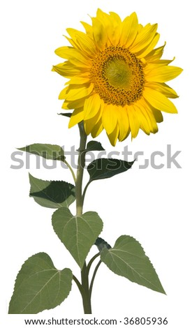refined sunflower isolated - stock photo