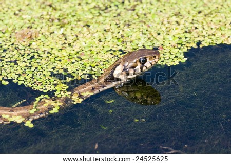 reflection in water of a grass snake - stock photo