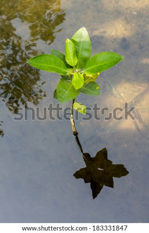 Reflection of young mangroves growing in nature at ocean beach,Thailand. - stock photo