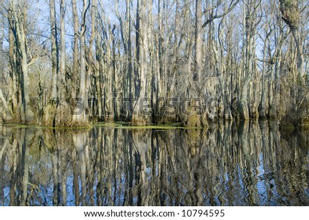 reflections of cypress trees in swamp - stock photo