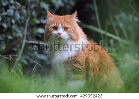 Regal Exotic Orange Long Haired Bi Color Doll Face Traditional Persian Cat Sitting in Grass  - stock photo