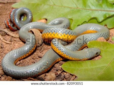Regal Ringneck Snake - stock photo