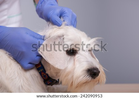 Regular check-ups are essential to canine health. Closeup shot of an young vet with her patient little terrier dog against grey background - stock photo