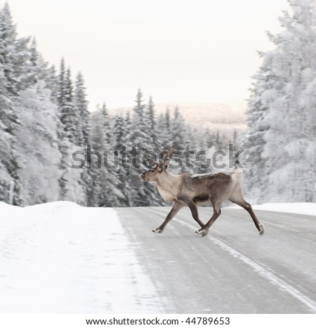 reindeer crossing a road in its natural environment in scandinavia - stock photo