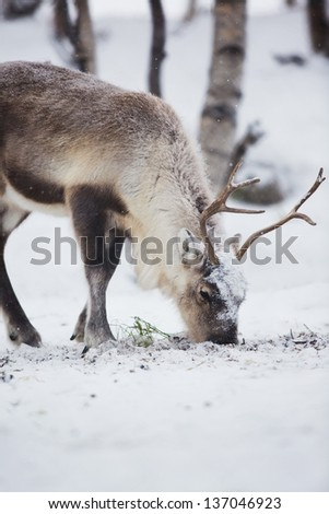 Reindeer eat grass in Norwegian winter forest a cold winter. - stock photo