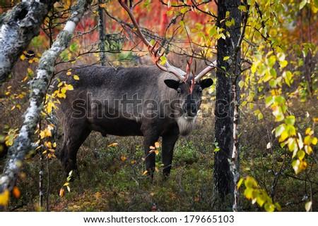 Reindeer in autumn wood - stock photo