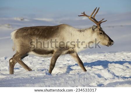 Reindeer in natural environment, Tromso region, Northern Norway. - stock photo