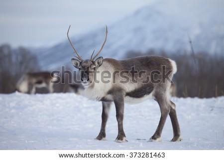 Reindeer in natural environment, Tromso region, Northern Norway - stock photo