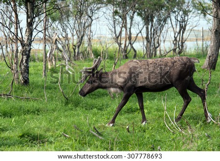 Reindeer in the paddock on the farm - stock photo