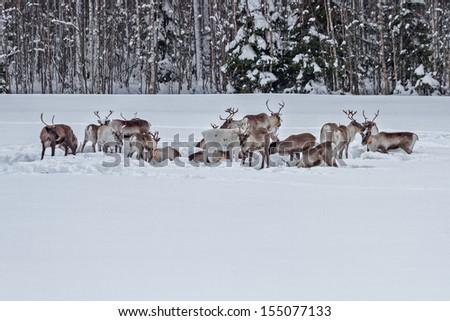 Reindeer in the snow - stock photo