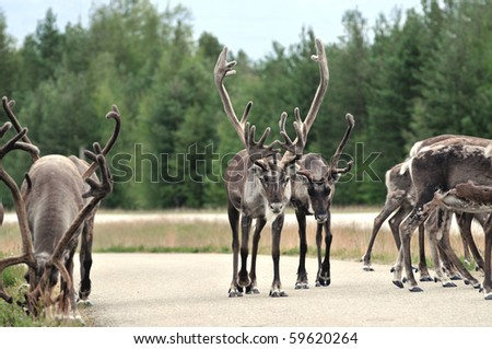 Reindeer - kings of the road in Lapland, Scandinavia - stock photo