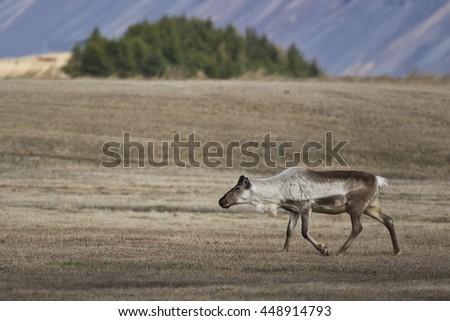 Reindeer on Iceland - stock photo