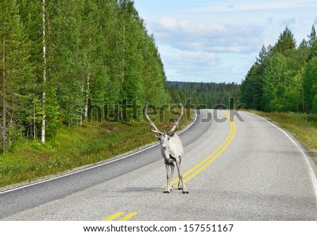 Reindeer on the road. Northern Finland - stock photo