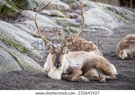 reindeer portrait while looking at you - stock photo