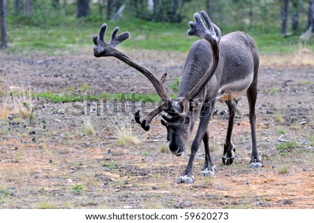 Reindeer stag with exceptionally long antlers approaching camera in natural habitat in a forest in Lapland, Scandinavia - stock photo