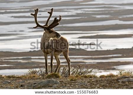 Reindeer standing tall - stock photo