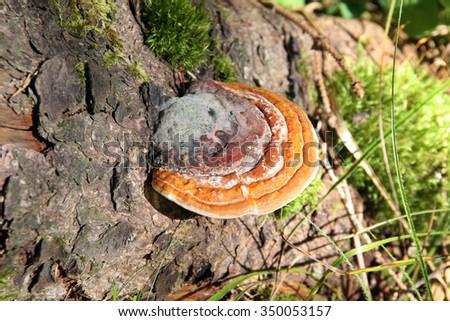 Reishi Mushroom (Ganoderma lucidum) in the forest. - stock photo