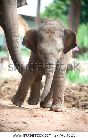 Relationship Thai Elephant calf and mom. - stock photo
