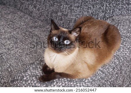 relaxed siamese cat laying on couch - stock photo