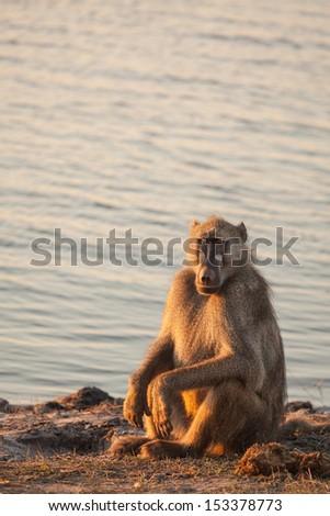 Relaxing baboon  - stock photo