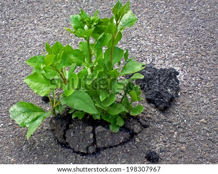 Reminder that Mother Nature always wins / outdoors photography of sprout growing through the asphalt  - stock photo
