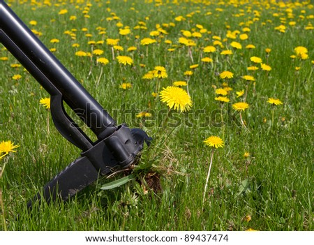 Removing Weeds in the spring. Dandelions - stock photo