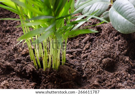 repotted young palms at home - stock photo