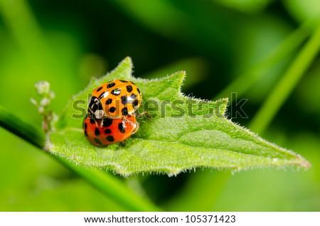 reproducing asian lady beetles - stock photo