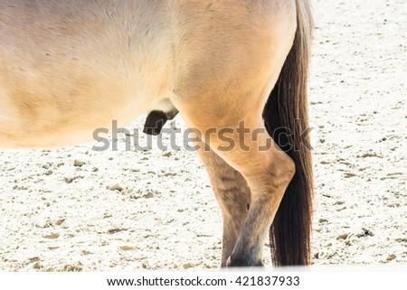 Reproductive Organ, penis of a small horse, pony - stock photo